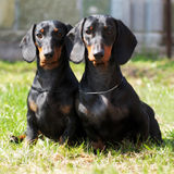 Two purebred dogs, a German smooth-haired Dachshund sitting Stock Image