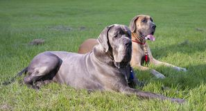 Two purebred Great Danes that are lying on green grass. Two purebred Great Danes that are laying on green grass royalty free stock photography