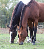 Two purebred horses grazing in a meadow Stock Images