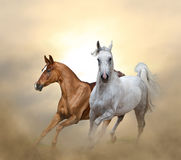 Two purebred horses running in sunset time. In the dust Royalty Free Stock Photo