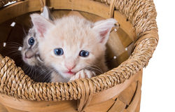 Two purebred kitten in a basket Stock Photography