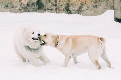 Two purebred Labrador dog and Samoyed. Samoyed dog playing with a dog breed labrador on a snowy winter background Stock Photos
