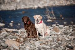 Two purebred labradors outdoors and The early spring and the river royalty free stock photography