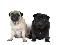 Two purebred pugs portrait Royalty Free Stock Photo