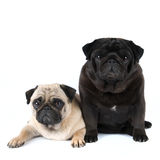 Two purebred pugs portrait Stock Image