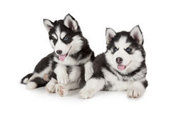 Two purebred Siberian Husky puppies Royalty Free Stock Photo