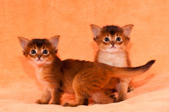 Two purebred somali kittens. Portrait on background looking at camera royalty free stock image