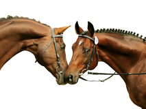 Two purebred stallions isolated on white Royalty Free Stock Photography