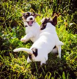 Two purebred week old jack russell terrier puppies bite in the grass in the meadow. Two purebred week old jack russell terrier puppies bite in the grass in royalty free stock image