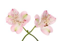 Two alstroemeria flowers. Two purple alstroemeria flowers isolated against white stock image