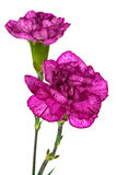 Two purple carnations Stock Images