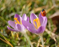 Two purple colored crocus flower and a lady bug royalty free stock photos
