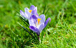 Two Purple crocuses Stock Photography