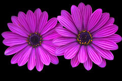Two purple daisies Stock Photo