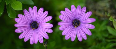 Two purple daisies Royalty Free Stock Photo