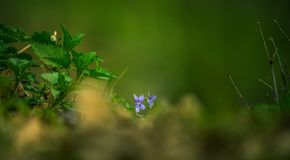 Two purple flowers hiding behind the grass. During hot spring day, with a stinging nettle on the side Stock Image