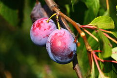 Two purple fresh plums on branch Stock Photo