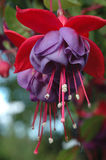Two purple hanging Fuchsia flowers Stock Photos