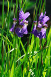 Two Purple Iris Flowers Stock Photo