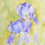 Violet irises with watercolor. Fragment of the process. vector illustration