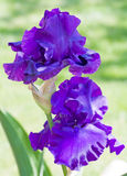 Two Purple Irises Royalty Free Stock Images