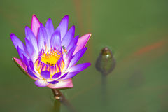 Two purple Lotus in the bath the morning sun. Two purple Lotus in the bath the morning sun shine day Royalty Free Stock Images