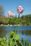 Two purple marbled tulips at the park lake shore Stock Images