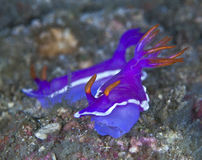 Two purple nudibranchs Royalty Free Stock Photography