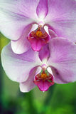 Two purple orchids Royalty Free Stock Images