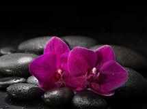 Two purple orchids  on wet black stones. Stock Image