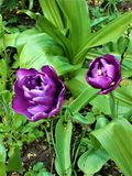Two purple peony tulips. Close-up. royalty free stock photo