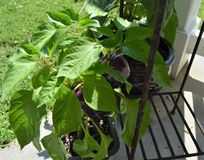 Two Purple Peppers Growing from a Vine in a Brown Pot in the Sunshine stock photo