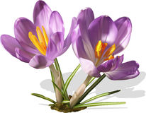 Two purple vector crocuses Stock Photography