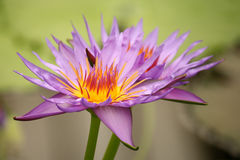 Two purple water lilies Stock Photography