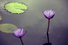 Two Purple Water Lilies. In a  serene pond Stock Photography