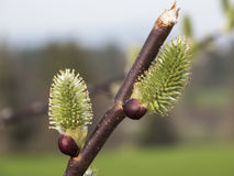 Two pussy willow on the branch Royalty Free Stock Photos