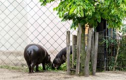Two pygmy hippos Choeropsis liberiensis or Hexaprotodon liberiensis eating vegetation royalty free stock images