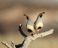 Two Quail on a branch. A pair of quail on a branch in the morning sunlight Royalty Free Stock Image