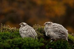 Two quail, Coturnix japonica.....photographed in nature. Two Japanese quail, Coturnix japonica.....photographed in nature. Breed by hoby growers in Sweden. The stock photos