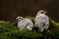Two quail, Coturnix japonica.....photographed in nature. Two Japanese quail, Coturnix japonica.....photographed in nature. Breed by hoby growers in Sweden. The royalty free stock photos