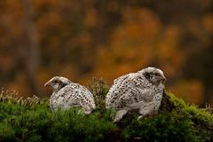 Two quail, Coturnix japonica.....photographed in nature. Two Japanese quail, Coturnix japonica.....photographed in nature. Breed by hoby growers in Sweden. The stock photo