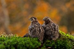 Two quail, Coturnix japonica.....photographed in nature. Two Japanese quail, Coturnix japonica.....photographed in nature. Breed by hoby growers in Sweden. The stock image