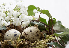 Two Quail eggs in nest. Stock Photo