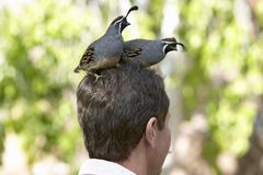 Two quail sitting on head of a male in Arizona-Sonora Desert Museum in Tucson, AZ stock photo