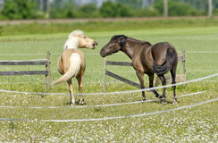 Two quarreling horses Royalty Free Stock Image