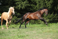 Two quarter horse stallions fighting Stock Image