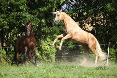 Two quarter horse stallions fighting Stock Photos