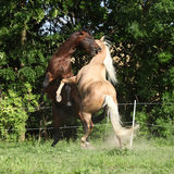 Two quarter horse stallions fighting Royalty Free Stock Image