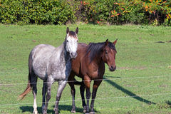 Two Quarter Horses by a Fence Stock Photo