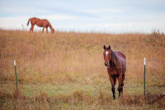 Two quarter horses in pasture Royalty Free Stock Photography